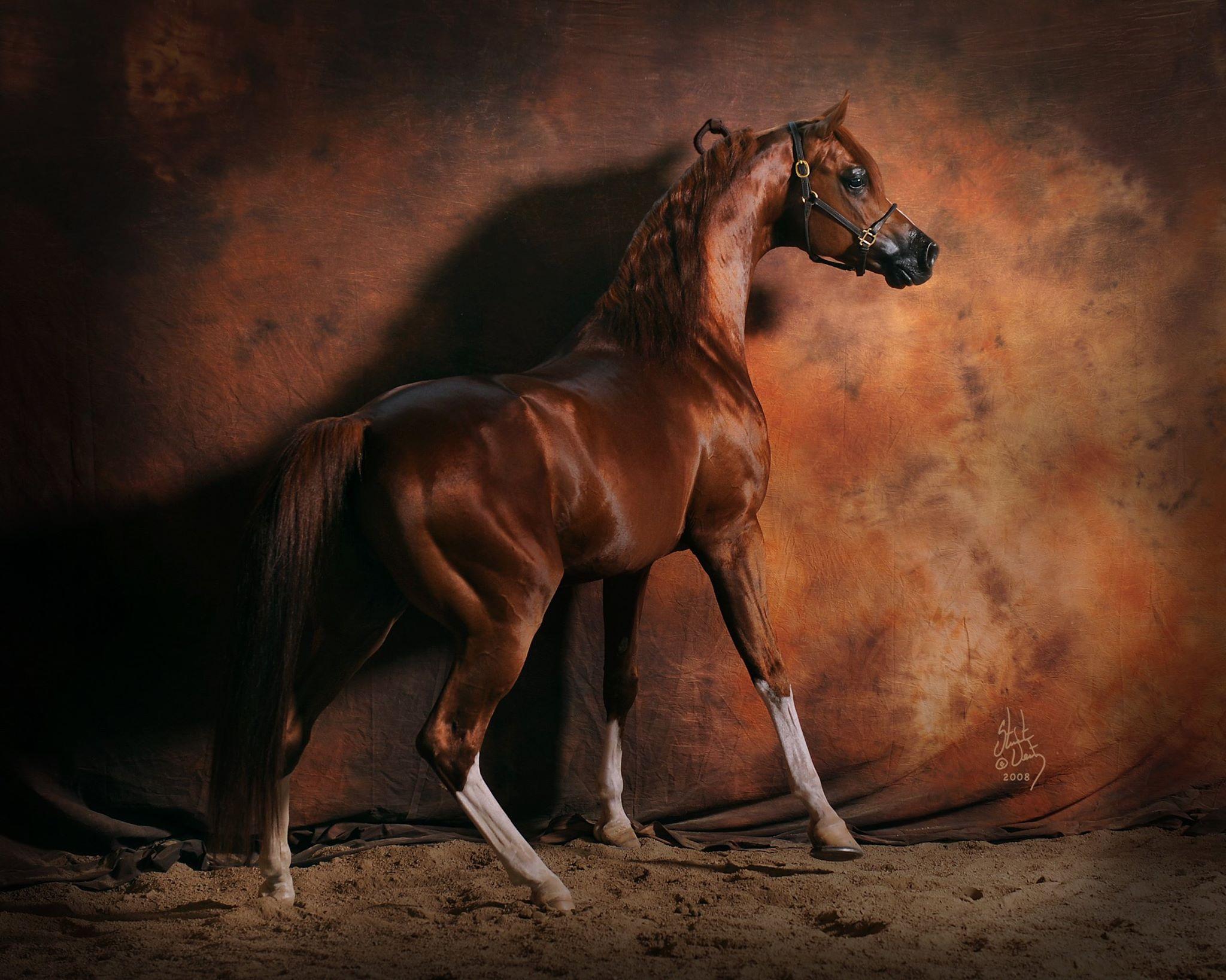 Stuart Vesty   Arabian Horse Exchange